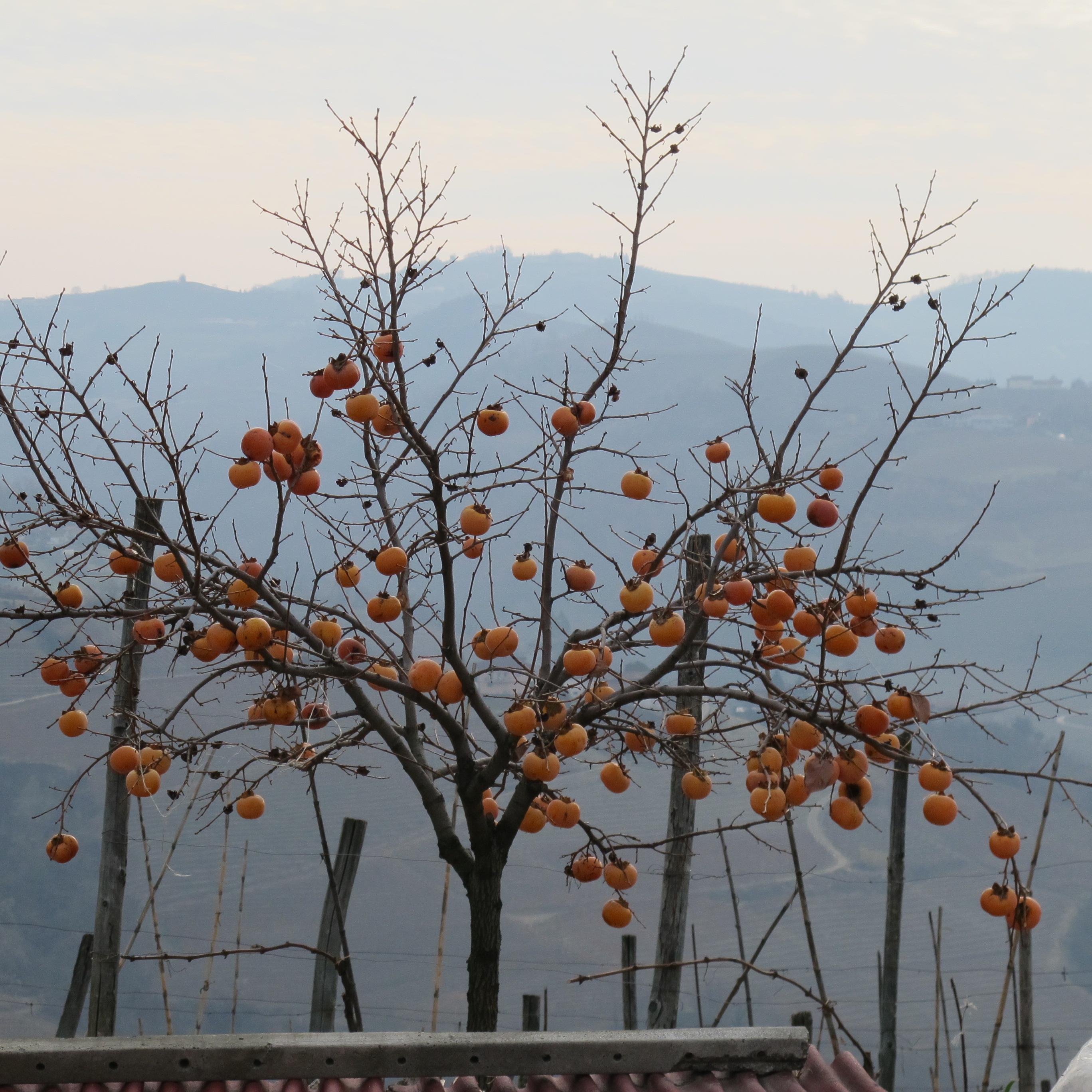 A Persimmon Tree (ripe around november, but I'll count it as winter).