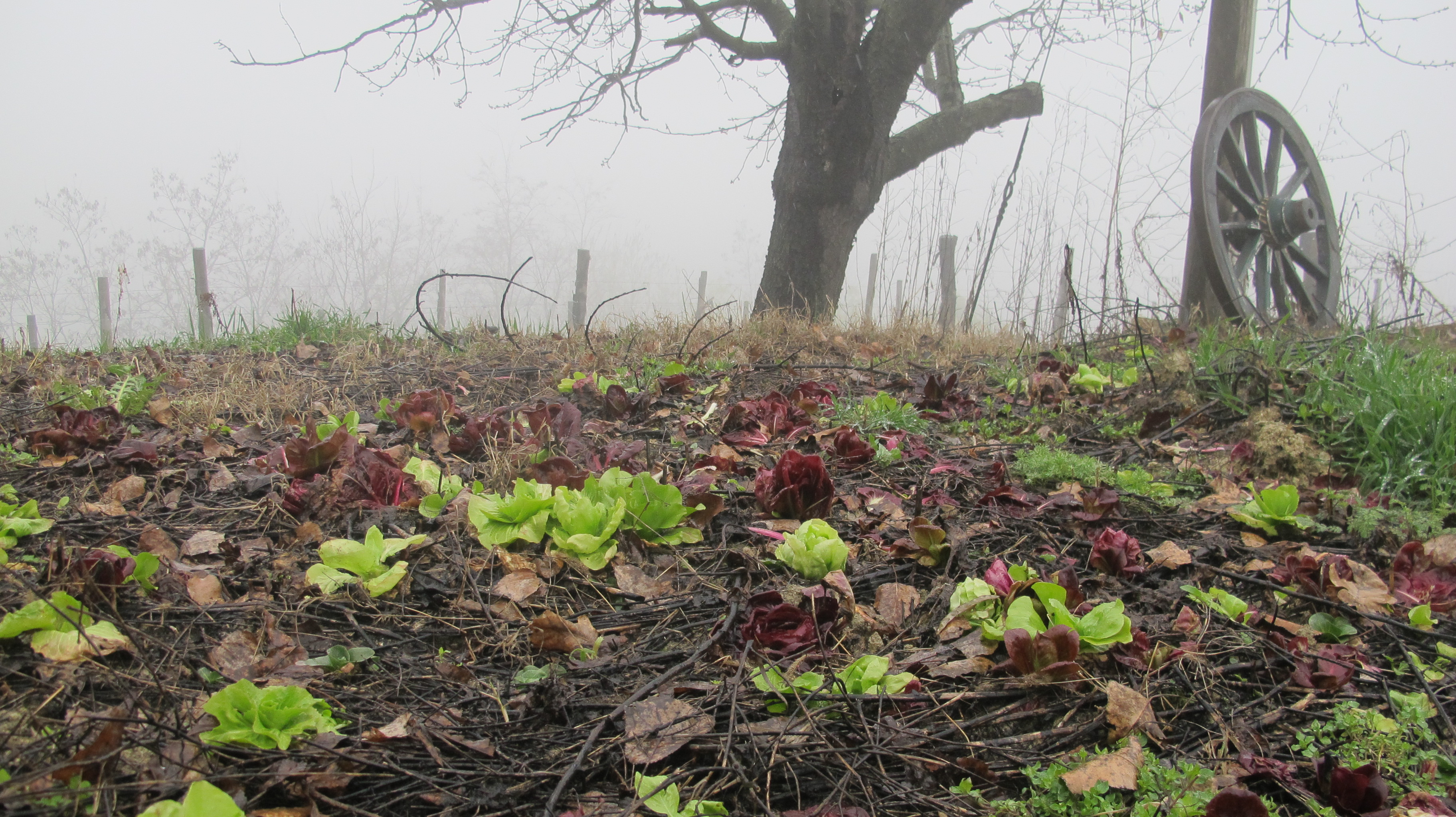 Right above the vineyards, we have a little radicchio and lettuce growing.