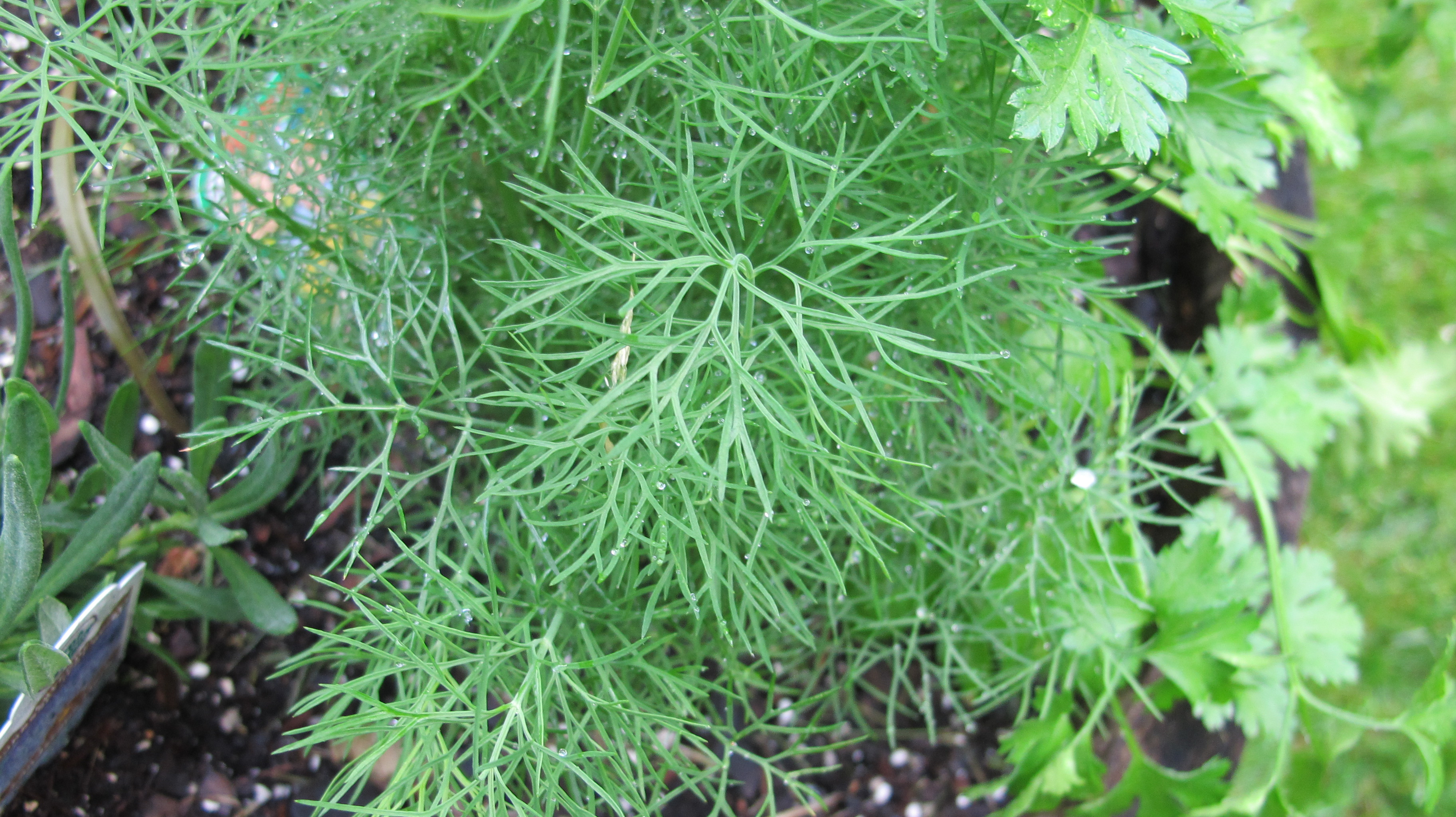 Fresh dill growing in the backyard garden.